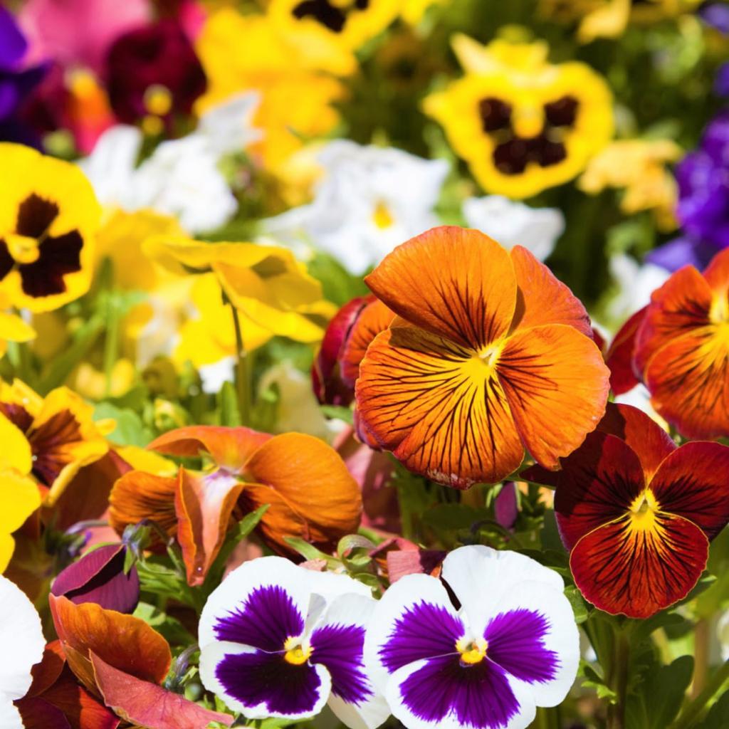 flor amor perfeito