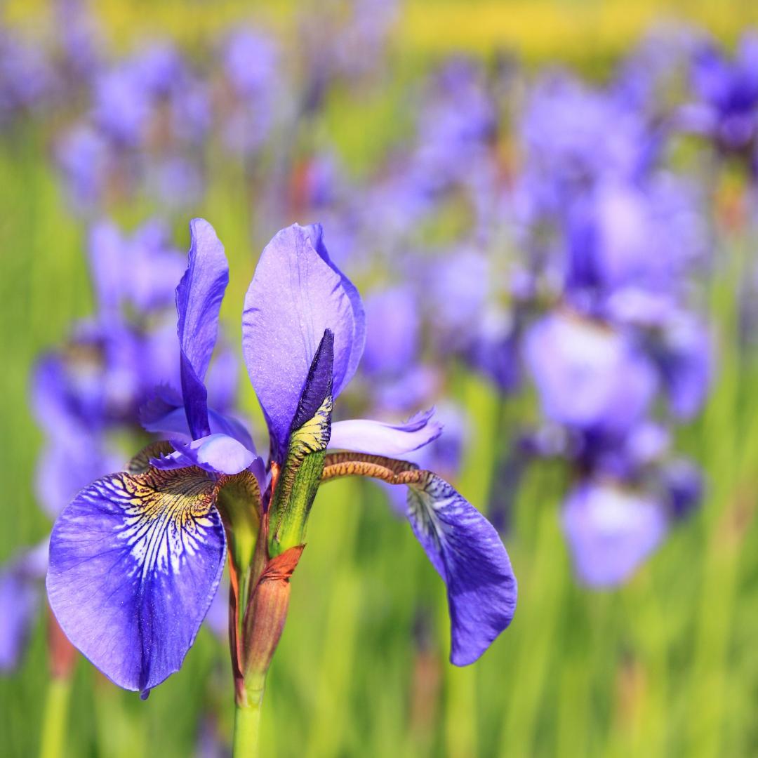 flor íris